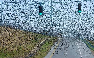 A huge cloud of blackbirds in Florence, Alabama.