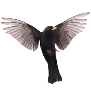 A blackbird in flight.