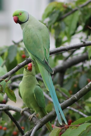 Ring-necked parakeets in Paris.