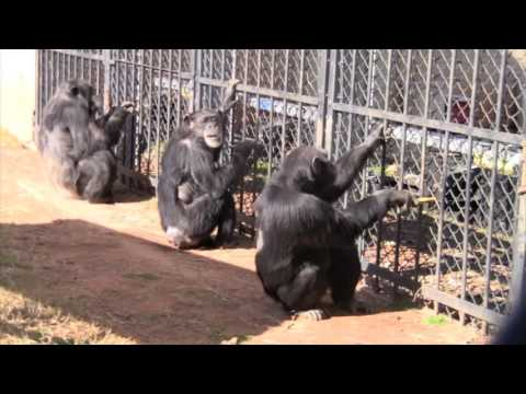 Brilliant study: Chimps would rather cooperate than compete – Info Leadership