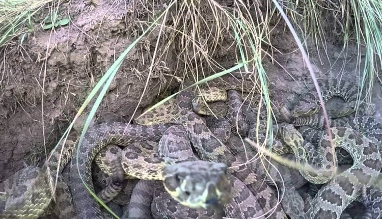 GoPro Camera Falls Into A Pit Of Rattlesnakes – Info Tutorial